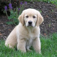 Golden Retriever Puppy...maybe our next dog soon!!!!!!
