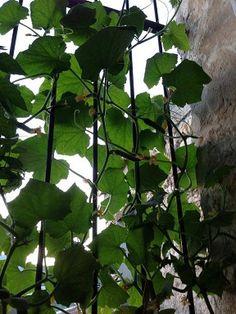 voici comment faire pousser des concombres en pot sur son balcon ou sur sa terrasse. Pour ma part, j'ai fais pousser en jardinière sur le rebord de fenêtre.