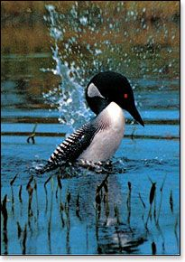 Love the sound of the loon at night...