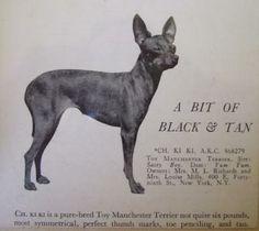 Am Ch Ki Ki Toy Manchester Terrier born 28 June 1932