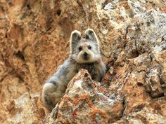 Ili pika in the moutains of China