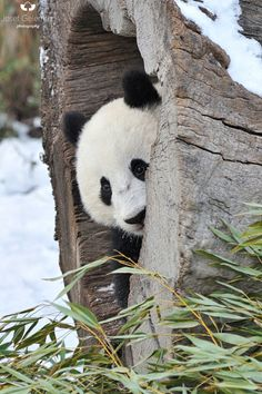 """peeking panda"" by Josef Gelernter  https://500px.com/photo/135317627"