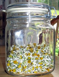 harvesting and drying chamomile flowers