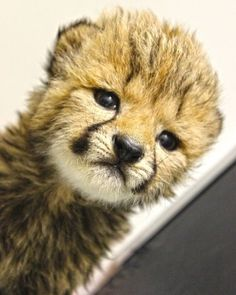 We just uploaded a new video about our Cheetah Cubs!!! You have to watch it! It is available on Vimeo!!