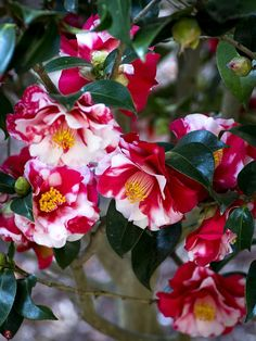 Tsubaki (Camellia japonica) flowers in Engaku-ji All Flowers, Types Of Flowers, Exotic Flowers, My Flower, Flower Power, Gardenias, Beautiful Roses, Beautiful Gardens, Camelia Rosa