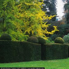 I want ginkos and maples behind a yew hedge