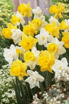 5 Yellow White Daffodil Mix Bulbs Garden Hardy Perennial Fall Narcissus Bee Spring Flower Bloom Landscape Container Bulb Planter Box by ToadstoolSeeds on Etsy Narcissus Bulbs, Daffodil Bulbs, Narcissus Flower, Daffodil Flower, Bulb Flowers, Daffodils, Rare Flowers, Yellow Flowers, Spring Flowers