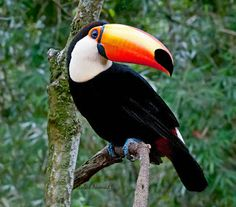tucanuçu_ramphastos toco_Brazilian Birds