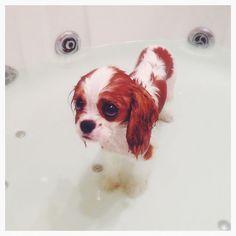 cachorro en la bañera tomando una ducha