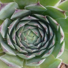 Mustármag kúra, mely hatalmas tisztulást ad a testnek - Egészségtér Euphorbia Pulcherrima, Herb Garden, Artichoke, Animals And Pets, Natural Remedies, Vitamins, Succulents, Health Fitness, Medical