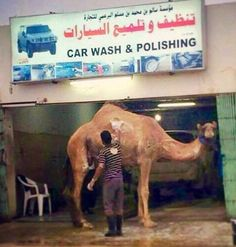 Anything goes in the United Arab Emirates. Camels don't wash themselves, you know. Sunday Pictures, Share Pictures, Epic Fail Pictures, Life Pictures, Best Funny Pictures, Hilarious Photos, Random Pictures, Animal Memes, Funny Animals