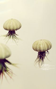 THREE Green Jellyfish Air Plants // Sea Urchins Hanging Art Installation Wedding Favor Decor Gift Mini Terrarium Kit DIY cute tillandsia. $24.00, via Etsy.