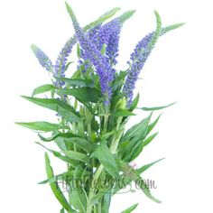 Fiftyflowers.com - Veronica Flower Purple with Blue Hues - 15 Bunches for $159.99