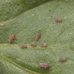 Aphids  What to look for & how to control them