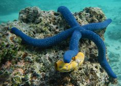 A blue sea star in the Vonavona Lagoon. Research associate David Gruber blogs from the Solomon Islands.
