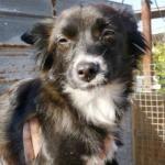 Chihuahua x Ratonero en adopción