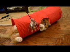 Garfield the funny exotic shorthair cat