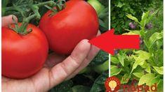 Kdybychom věděli, co dokáže tato rostlina s rajčaty, všímali bychom si ji mnohem více: Nedělejte z ní jen čaj, toto je poklad pro každého zahrádkáře! Vegetables, Food, Belle, Nature, Essen, Vegetable Recipes, Meals, Yemek, Veggies