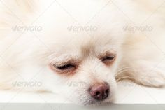 Realistic Graphic DOWNLOAD (.ai, .psd) :: http://jquery-css.de/pinterest-itmid-1006797311i.html ... White pomeranian sleeping ...  Spitz, adorable, canis, charm, close, cute, dog, domestic, dwarf, eye, fluffy, funny, furry, grooming, isolated, nap, pet, pom, pomeranian, pup, puppy, rest, sit, sleeping, studio, white, young  ... Realistic Photo Graphic Print Obejct Business Web Elements Illustration Design Templates ... DOWNLOAD :: http://jquery-css.de/pinterest-itmid-1006797311i.html