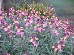 Erysimum mutabile. Te koop bij hessenhof  zon  bleekgeel-paars  mrt - oct.  60 cm  5 pl. per m²  2.50 €  W2   Het origineel, die net als de bekende 'Bowles Mauve' bijna heesterachtig aandoet. De bloemen openen bleekgeel en verkleuren vervolgens van mauve naar paars, vandaar de naam mutabilis, wat veranderlijk betekent. Bloeit enorm lang, maar put zichzelf hierdoor snel uit. 's Winters afdekken met sparretakken of neem een paar stekken die gemakkelijk wortelen.