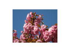Japán díszcseresznye / Prunus serrulata   Dísznövény Webáruház