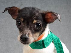 Petango.com – Meet Lake, a 1 year 1 month Chihuahua, Short Coat / Terrier available for adoption in COLORADO SPRINGS, CO
