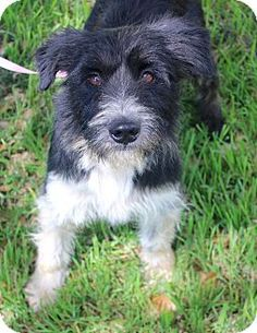 Indianapolis, IN - Norwich Terrier/Border Terrier Mix. Meet MILLER, a dog for adoption. http://www.adoptapet.com/pet/15680938-indianapolis-indiana-norwich-terrier-mix
