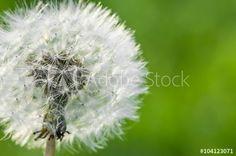 Löwenzahn, Taraxacum officinale, zarte weiße Pusteblume vor grünem Hintergrund, Grußkarte, symbolisch, Frühling, Fortpflanzung, Wildblumen