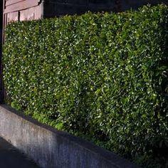 MICHELIA FIGO port wine magnolia