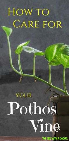 Pothos Vine Care Do you have a Pothos vine? Check out this post on Pothos Vine Care and learn about light requirements, water requirements, and overall Pothos care tips!