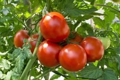Growing Tomatoes Tips Tomato Garden Seeds - Oregon Spring - 1 Oz - Non-GMO, Heirloom, Vegetable Gardening Seed - Growing Tomatoes From Seed, Growing Tomato Plants, Growing Tomatoes In Containers, Grow Tomatoes, Tomato Vine, Tomato Garden, Garden Tomatoes, Tomato Tomato, Sliced Tomato