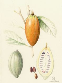 Botanical illustration of chocolate — Theobroma cacao of the Malvaceae family, rendered by Wendy Hollender.