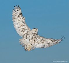 Snowy Owl Looking Back by Rick Dobson on 500px