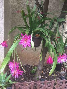 Epiphyllum 'Pegasus' is one of the most popular Epiphyllum hybrids with extra large flowers... #epiphyllum #succulentopedia #cactus #CactiAndSucculents #WorldOfSucculents #cacti #CactusLove #SucculentPlant #SucculentPlants #cactusmania #CactusLover #CactusObsession #CactusCollection #plant #plants #CactusGarden #garden #desertplants #nature #blooming #BloomingCactus #flower #flowers #CactusFlower #CactusFlowers