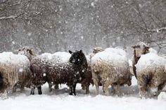 1.bp.blogspot.com -W2porPXYSCo UNzi4KVhcgI AAAAAAAALQ8 vlot_ksldVg s1600 22+dec+sheep+storm.jpg