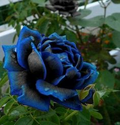 Shop our best value Blue Rose Bush on AliExpress. Check out more Blue Rose Bush items in Home & Garden! And don't miss out on limited deals on Blue Rose Bush! Most Beautiful Flowers, Exotic Flowers, Pretty Flowers, Black Flowers, Unique Roses, Black Magic Roses, Flowers Bunch, Nice Flower, Colorful Roses