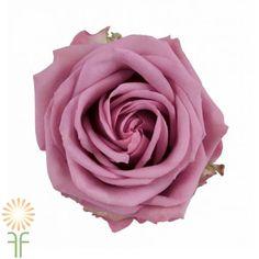 Lavender Cool Water Roses l Wholesale Flowers & DIY Wedding Flowers Hot Pink Roses, Purple Roses, Standard Roses, Wedding Flower Packages, Wholesale Roses, Lavender Buds, Lavender Flowers, Flower Packaging, Valentines Flowers