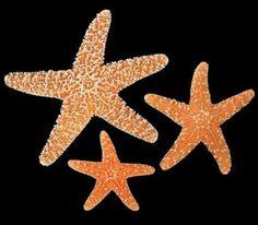 Sugar Starfish Bulk 3 pcs  2 to 3 7/8 inch Sugar by MacDriftwood, $2.99