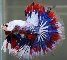 "Patriotic ""4th of July"" Betta fish                                                                                                                                                                                 More"