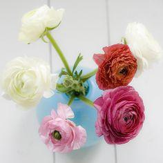 Ranunculus in a blue vase