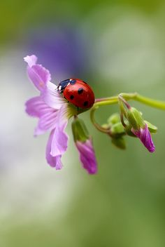 ☀Ladybug by Mandy Disher Florals, via Flickr
