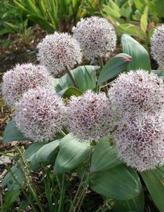 """This extraordinary allium is a must have for all rock gardens!. Its white to pale pink <strong>blooms can reach 5-6"""" in di</strong>ameter on top of 6-10"""" tall sturdy stalks and is one of the only allium grown also for its handsome foliage. The leaves of the <i>Allium karataviense</i> are broad and vary in color from gray purple to gray green. Blooming in last spring to early summer, the Ivory Queen will be royalty in your garden or favorite ..."""