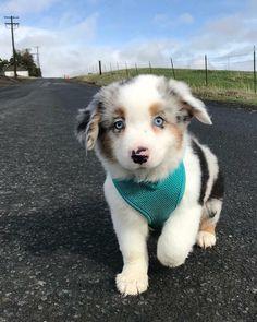 My pup, Zephyr. - aww Super Cute Puppies, Baby Animals Super Cute, Cute Baby Dogs, Cute Little Puppies, Cute Dogs And Puppies, Cute Little Animals, Cute Funny Animals, Doggies, Aussie Puppies