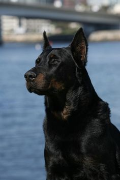 Beauceron - Champion