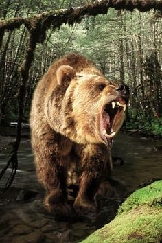 Angry grizzly bear