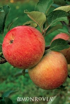 Fuji Apple; Full sun; regular watering- weekly; Reaches 10 to 30 feet tall and 10 feet wide