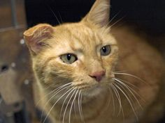 TO BE DESTROYED 9/20/14 ** ADORABLE OSCAR! Oscar was displaying friendly behavior; interacts with the Assessor, solicits attention, is easy to handle and tolerates all petting. ** Brooklyn Center  My name is OSCAR. My Animal ID # is A0885713. I am a neutered male org tabby and white domestic sh mix. The shelter thinks I am about 8 YEARS old.  OWNER SUR on 09/06/2014 from NY 11412,  LLORDPRIVA. Group/Litter #K14-193261.