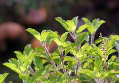 'Tulsi' or Holy basil has various health benefits for the entire body. Here we bring surprising and amazing holy basil benefits that you must know! Home Remedies For Gout, Skin Care Home Remedies, Gout Remedies, Benefits Of Basil, Health Benefits, Hair Mask For Damaged Hair, Hair Masks, Redness On Face, Under Eye Wrinkles