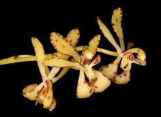 Orchid Fllower-Macro: Renantherella histrionica