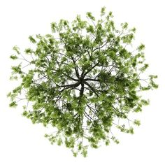 tree top view: top view of willow tree isolated on white background Stock Photo tree top view: top v Architecture Graphics, Landscape Architecture, Landscape Design, Autocad, Plant Png, Tree Plan Photoshop, Tree Plan Png, Plan Tree, Tree Psd
